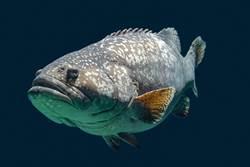 男釣重量級高齡石斑 專家一看驚呆