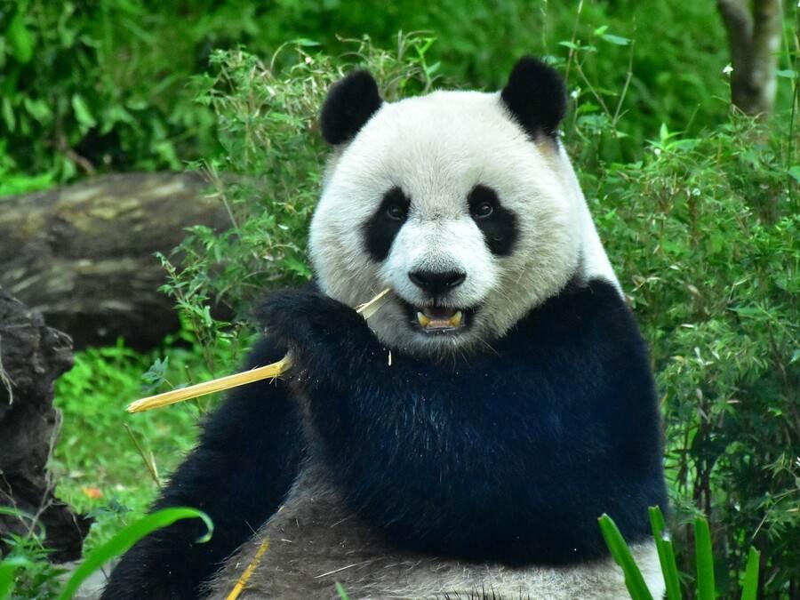 大貓熊「圓仔」:別忘了在過年前也給家裡的冰箱來個「大掃除」喔!(台北市立動物園提供)