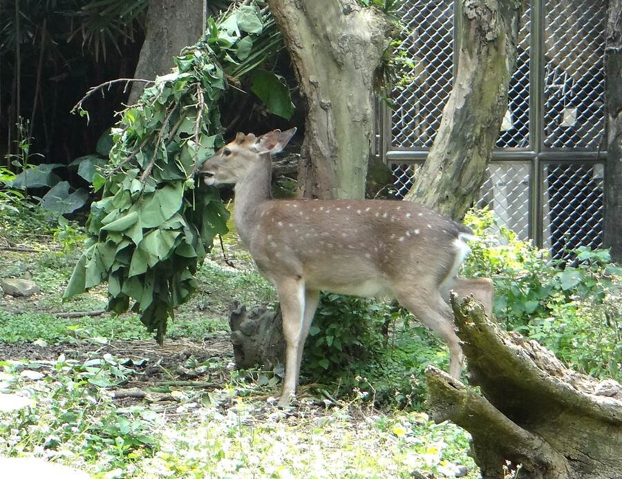 梅花鹿悠閒的享用早餐。(台北市立動物園提供)