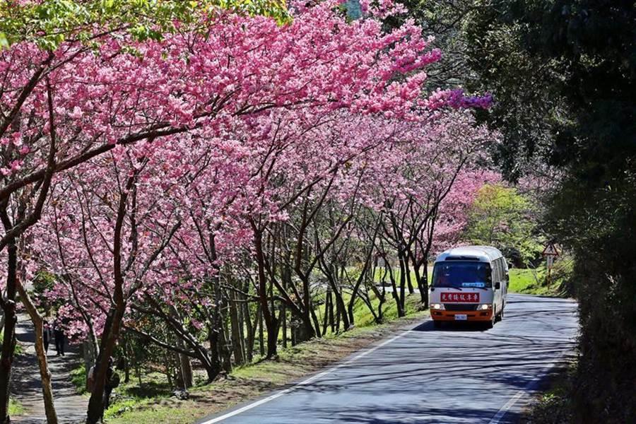 迎接武陵農場櫻花季,公路總局宣布「場內總量管制、道路交通管制、團客預約入場、公共運輸接駁」等四大交通疏運措施。(圖/交通部公路總局提供)