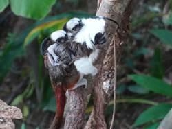 不怕少子化!棉頭絹猴小夫妻喜迎黑白胖寶寶