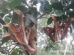 抬頭驚見「紅頭3頭蛇」樹上狠瞪 網興奮驚呼:是摩斯拉