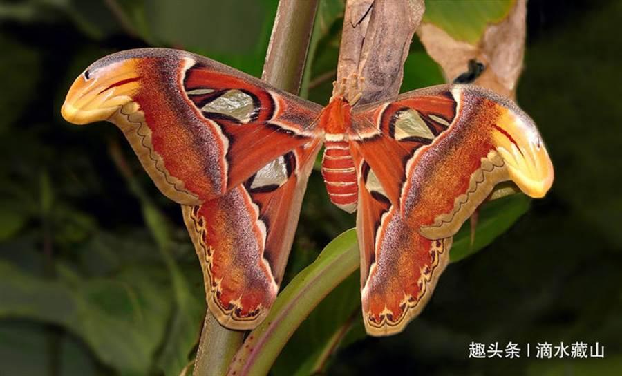 男子將「三頭蛇」PO上網問是什麼奇特生物?結果網友神解答是全球最大體型的蛾「皇蛾」。(圖/翻攝自陸媒趣頭條)