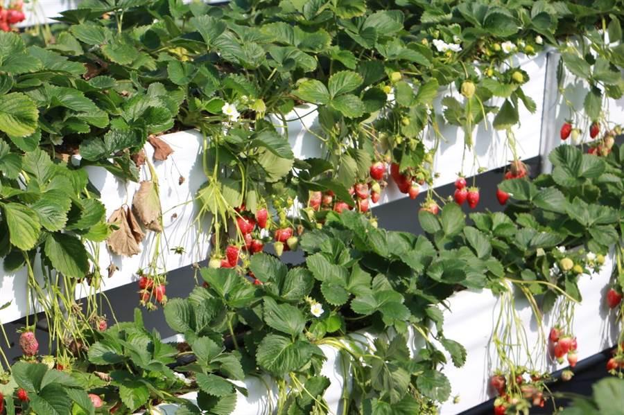 大湖採草莓成國內冬季旅遊首選。(何冠嫻攝)
