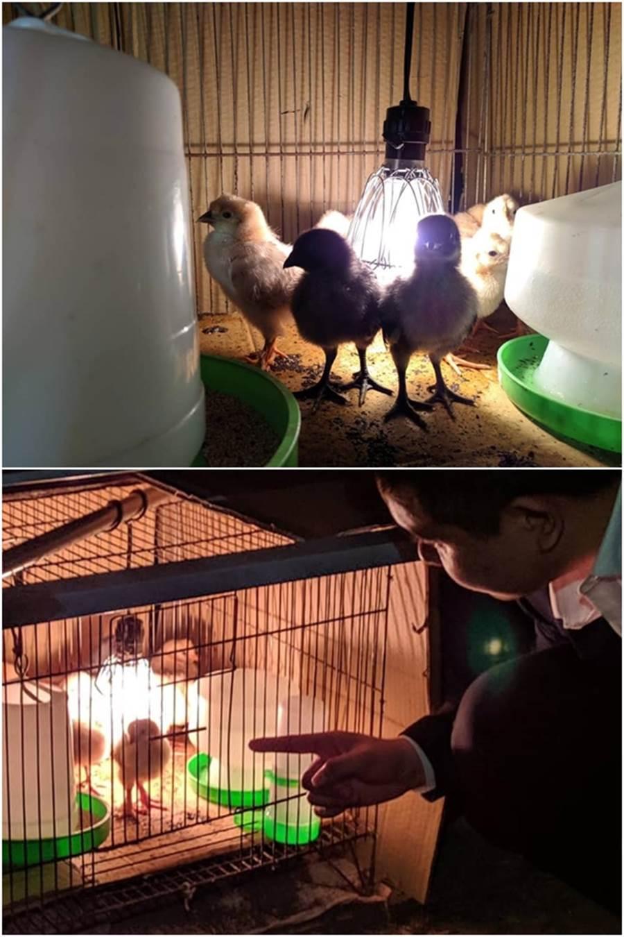9隻雞寶寶已順利抵達雲林,他們花了好一陣子的時間,終於佈置完成教育農場的新家。(圖/摘自何庭歡FB)