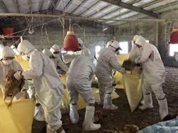 台中大安區雞場確診禽流感 撲殺2400隻雞