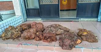 山老鼠盜檜木瘤誆稱山豬屍體 警戳破