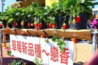 大湖農會推出新品種「戀香草莓」