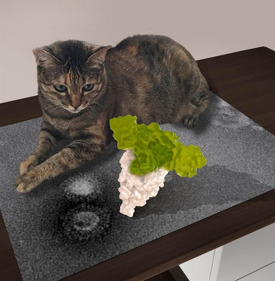 冠狀病毒的醣衣原子分子構型,如同迷彩糖衣,恐倒置貓咪出現傳染性腹膜炎。(中研院提供/李侑珊台北傳真)