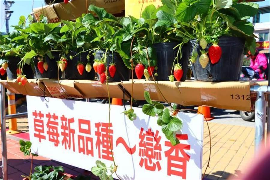 大湖地區農會推出新品種草莓戀香。〔媒體事務中心提供/謝明俊苗栗傳真〕