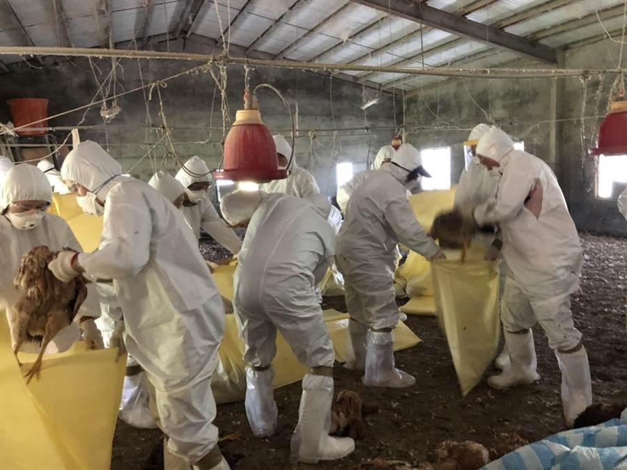 台中大安區一土雞場撲殺約2400隻土雞、銷毀約1590公斤飼料。(台中市動保處提供/陳淑娥台中傳真)