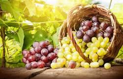 葡萄含白藜蘆醇 研究:用「吸」的可防肺癌
