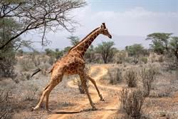 8飢餓獅圍攻長頸鹿 下秒嚇到不敢動