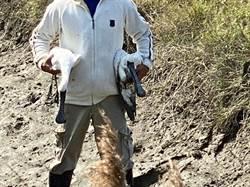 嘉義發生黑面琵鷺疑肉毒桿菌中毒 2天內6隻死亡