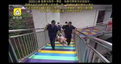 風景區上演「活豬高空彈跳」慘叫連連!表演完直送屠宰場