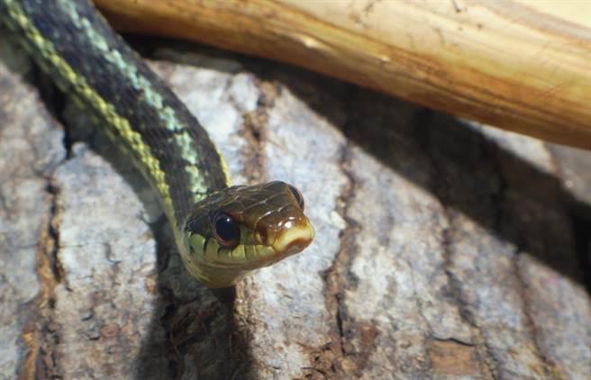 蛇示意圖。(圖/達志影像)
