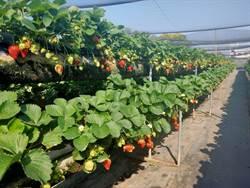 南科草莓園白草莓上市 水蜜桃味吸引民眾嘗鮮