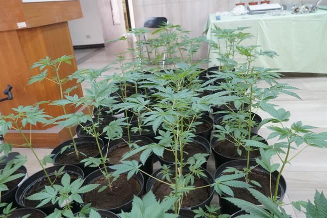 台中市警局刑事警察大隊偵二隊,21日公布破獲大麻種植場及大麻包裝加工廠,查扣53株大麻。(黃國峰攝)