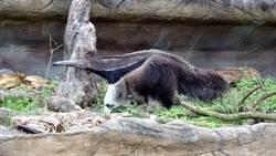 貓熊怎會跑到熱帶雨林館?原是「牠」的前肢像圓仔