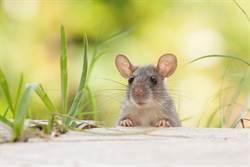 嚇鼠!餐廳吃飯竟遭天降巨鼠砸臉