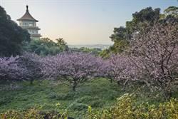 春遊賞櫻!天元宮三色櫻綻放 烏來山櫻伴瀑布