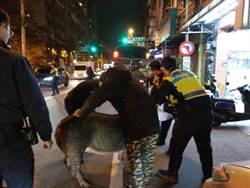 400斤豬公跳車逃 警民上演街頭圍捕大戰