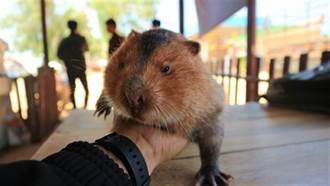 迎鼠年!竹鼠釀肺炎大禍 衝擊陸野味市場