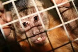 受夠!實驗屢被批虐待猴子 德科學家要舉家遷陸了