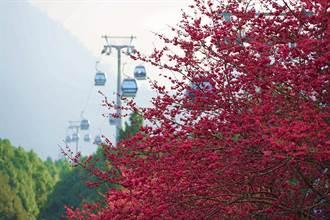九族櫻花祭迎新春!山櫻、八重櫻搶頭香 吉野櫻二月接力綻放