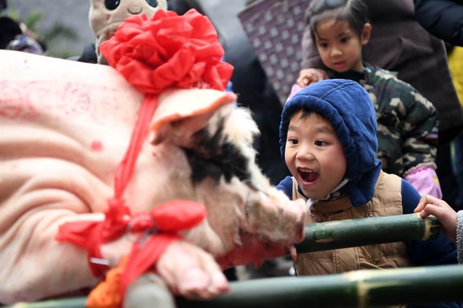 大陸重慶風景區業者出奇招,讓75公斤重活豬玩高空彈跳,引發國際媒體撻伐。圖為示意圖,非事件中豬隻。(資料照/新華社)