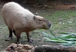 圖輯》北市動物園送豬迎鼠!水豚家族開心吃圍爐大餐