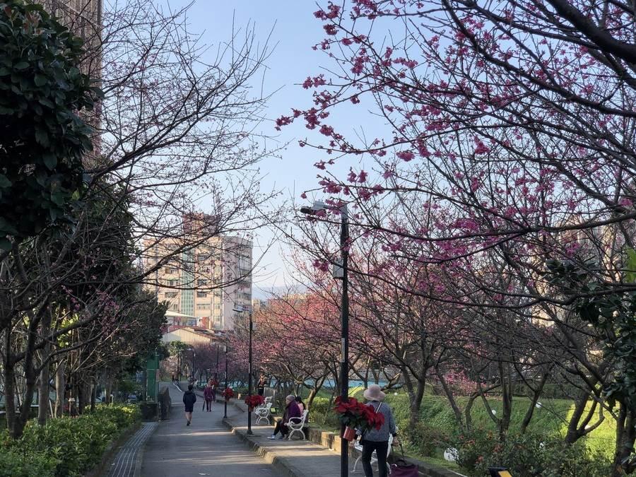 民眾散步於櫻花樹下。(圖取自新北市景觀處官網)
