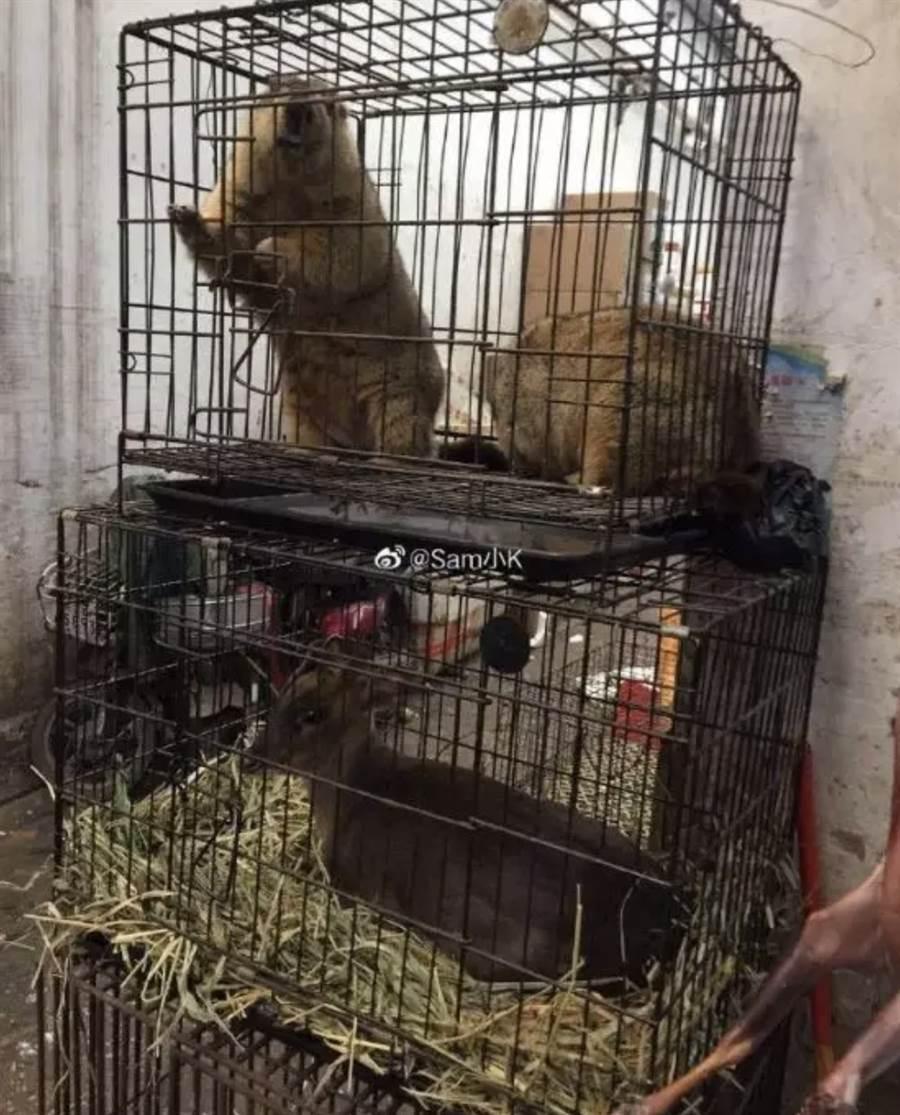 市場內販售各種活體動物,圖上為土撥鼠,下為山羌,山羌入籠前一律挑斷腳筋,以防脫逃,相當殘忍  (圖/翻攝自微信公眾號@多維面面觀)
