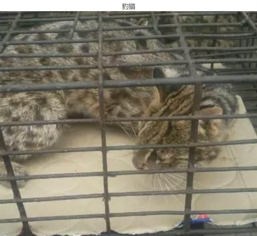連珍貴的豹貓都成為店家販售食物之一 (圖/翻攝自微信公眾號@多維面面觀)