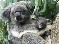 柯P初一來動物園發紅包!盼大小朋友獻愛幫助澳洲無尾熊