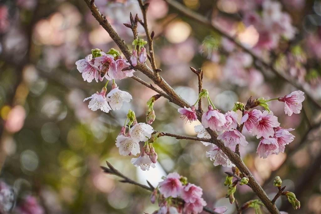 三色櫻花瓣有白色、粉紅及暗紅色等不同變化。(圖取自新北市景觀處官網)