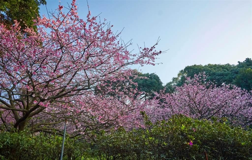 天元宮櫻花。(圖取自新北市景觀處官網)