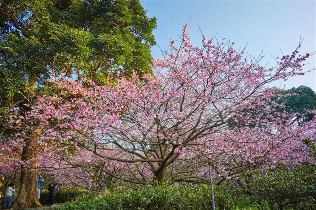 櫻花盛開宛如粉色花海。(圖取自新北市景觀處官網)