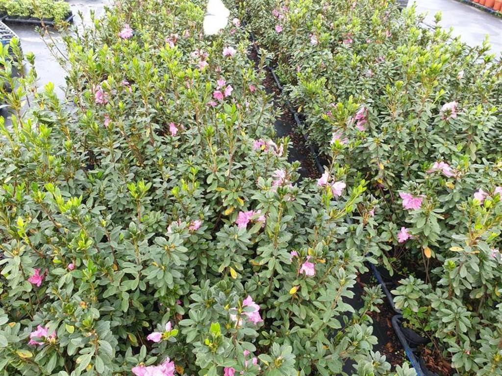 西洋杜鵑-玫瑰王子-嚴慶榮攝。(圖取自新北市農業局官網)
