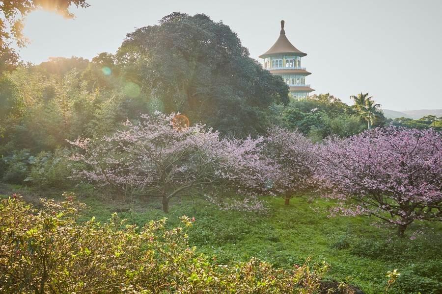 天元宮櫻花美景。(圖取自新北市景觀處官網)