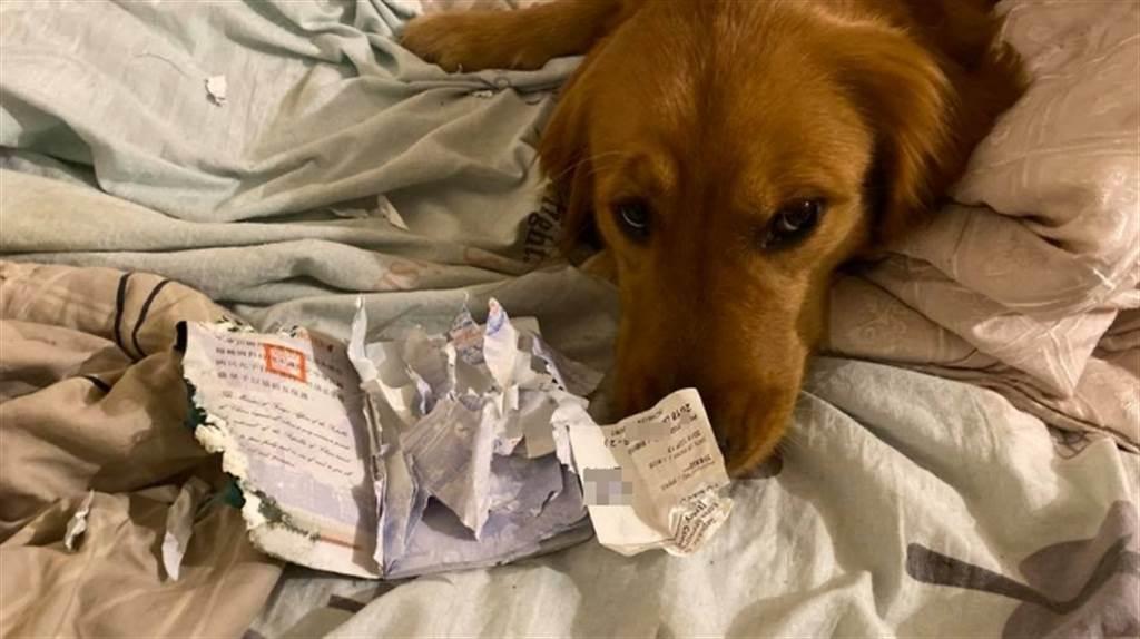 一名部落客原本預計1月要到武漢旅遊,但家中的愛犬竟然在13日無故把護照咬了稀巴爛,讓他無法出國。(翻攝自《金毛愛旅行の視角》)