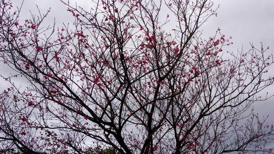 三和社區內的「三生步道」櫻花美景。(圖取自新北市景觀處官網)