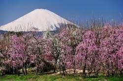 神奈川縣賞梅遠眺富士山!櫻花接力春浪漫