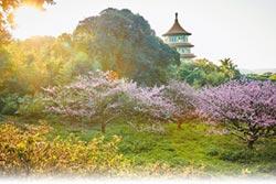 淡水天元宮 三色櫻花季倒數