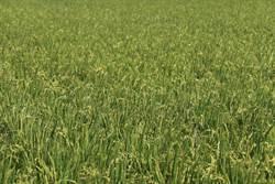 今年稻作直接給付申報 農糧署呼籲:截止日為2月7日