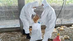 鹽埔鄉土雞場確診感染禽流感 主動通報已撲殺8715隻紅羽土雞
