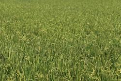 鼓勵生產優良稻穀 109年稻作直接給付申報至2月7日止