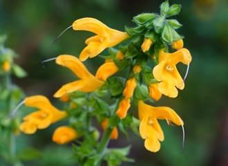 鼠輩植物來報喜!「黃花鼠尾草」像極小尾巴 繽紛又可愛