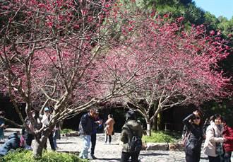 九族櫻花季揭開序幕  觀山樓旁櫻花已開8成 美不勝收