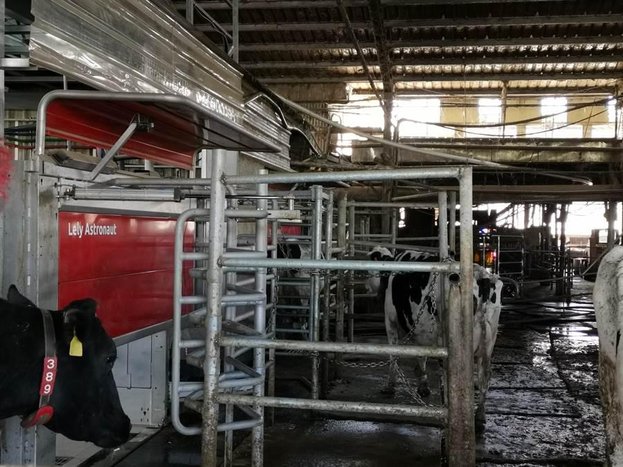 佳里梅桂牧場使用智慧擠乳機器人,牛隻自動排隊等著擠乳。(劉秀芬攝)